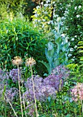 NYMANS  SUSSEX. THE NATIONAL TRUST : ALLIUM GIGANTEUM AND ONOPORDUM ACANTHIUM IN THE HERBACEOUS BORDER  EVENING LIGHT  JUNE