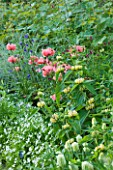 NYMANS  SUSSEX. THE NATIONAL TRUST : PINK POPPIES AND PHLOMIS IN THE HERBACEOUS BORDER  EVENING LIGHT  JUNE