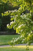 NYMANS  SUSSEX. THE NATIONAL TRUST: CORNUS GLORIA BIRKETT  IN EVENING LIGHT IN THE WALL GARDEN  JUNE