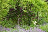 OLD THATCH  BERKSHIRE: THE LAVENDER TERRACE WITH OLD OAK POSTS FESTOONED WITH CLEMATIS ETOILE VIOLETTE