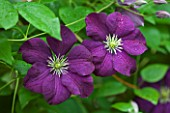 OLD THATCH  BERKSHIRE: CLEMATIS ETOILE VIOLETTE