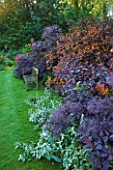 OLD THATCH  BERKSHIRE: SUNRISE ON WOODEN BENCH AND BORDER OF SMOKE BUSH - COTINUS COGGYGRIA ROYAL PURPLE