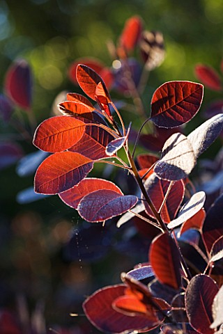 OLD_THATCH__BERKSHIRE_THE_SMOKE_BUSH__COTINUS_COGGYGRIA_ROYAL_PURPLE