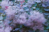 OLD THATCH  BERKSHIRE: THE SMOKE BUSH - COTINUS COGGYGRIA ROYAL PURPLE
