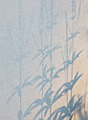 DEW POND HOUSE: DESIGN BY WILSON MCWILLIAM STUDIO - VERONICASTRUM VIRGINICUM ALBUM SHADOW ON RENDERED WALL
