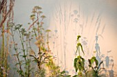 DEW POND HOUSE. DESIGN BY WILSON MCWILLIAM STUDIO - RENDERED WALL WITH EVENING LIGHT AND SHADOW OF PHLOMIS RUSSELIANA  CALAMAGROSTIS KARL FOERSTER   MYRRHIS ODORATA