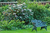 PECKOVER HOUSE  WISBECH  CAMBRIDGESHIRE: THE NATIONAL TRUST - LAWN WITH METAL SEAT/ BENCH AND HYDRANGEA ASPERA SARGENTIANA