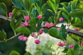 WORCESTER COLLEGE  OXFORD: EUONYMUS EUROPAEUS  THE SPINDLE TREE