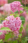 THE PINK FLOWERS OF HYDRANGEA ARBORESCENS INVINCIBLE SPIRIT