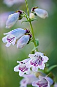 CLOSE UP OF THE FLOWERS OF PENSTEMON MOTHER OF PEARL