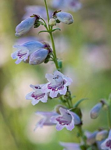 CLOSE_UP_OF_THE_FLOWERS_OF_PENSTEMON_MOTHER_OF_PEARL