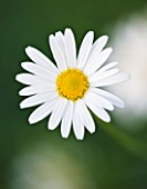 CLOSE UP OF THE WHITE FLOWER OF ARGYRANTHEMUM GRACILE CHELSEA GIRL - MARGUERITE  PARIS DAISY