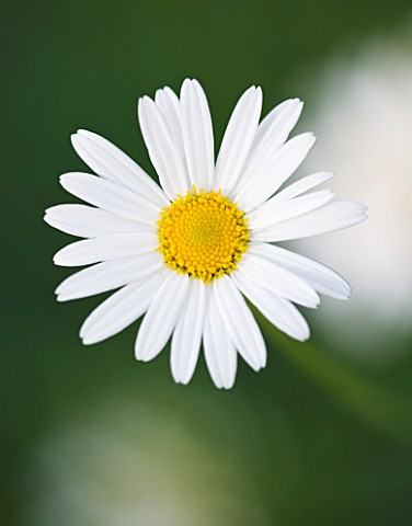 CLOSE_UP_OF_THE_WHITE_FLOWER_OF_ARGYRANTHEMUM_GRACILE_CHELSEA_GIRL__MARGUERITE__PARIS_DAISY
