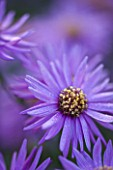 OLD COURT NURSERIES AND THE PICTON GARDEN  WORCESTERSHIRE: PURPLE  FLOWER OF ASTER AMELLUS BRILLIANT - MICHAELMAS DAISY