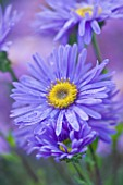 OLD COURT NURSERIES AND THE PICTON GARDEN  WORCESTERSHIRE: PURPLE/ BLUE FLOWER OF ASTER AMELLUS GRUNDER - MICHAELMAS DAISY