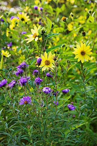 OLD_COURT_NURSERIES_AND_THE_PICTON_GARDEN__WORCESTERSHIRE_HELIANTHUS_LEMON_QUEEN_AMONGST_ASTERS_IN_T