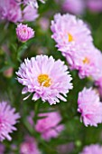 OLD COURT NURSERIES AND THE PICTON GARDEN  WORCESTERSHIRE: CLOSE UP OF THE PINK FLOWERS OF ASTER NOVI-BELGII LASSIE