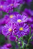 OLD COURT NURSERIES AND THE PICTON GARDEN  WORCESTERSHIRE: CLOSE UP OF THE PURPLE FLOWERS OF ASTER NOVI-BELGII PURPLE DOME