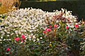 RAGLEY HALL GARDEN  WARWICKSHIRE: THE ROSE GARDEN IN AUTUMN: ROSE GORDONS COLLAGE AND ANEMONE X HYBRIDA ANDREA ATKINSON . MORNING LIGHT.