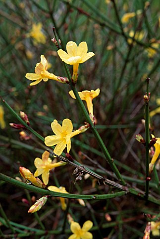JASMINUM_NUDIFLORUM_WINTER_JASMINE_BENINGTON_LORDSHIP__HERTFORDSHIRE