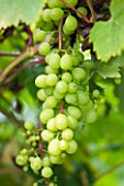SUNNYBANK VINE NURSERY  HEREFORDSHIRE: CLOSE UP OF THE GREEN GRAPES OF VITIS MUSCAT OF ALEXANDER