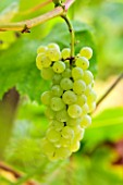 SUNNYBANK VINE NURSERY  HEREFORDSHIRE: CLOSE UP OF THE GRAPES OF VITIS VINIFERA LAKEMONT