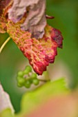 SUNNYBANK VINE NURSERY  HEREFORDSHIRE: CLOSE UP STEMS OF THE AUTUMN LEAF OF THE GRAPE - VITIS ALDEN