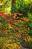 THE PICTON GARDEN  WORCESTERSHIRE: AUTUMN COLOUR OF ACER JAPONICUM ACONITIFOLIUM