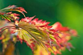 THE PICTON GARDEN  WORCESTERSHIRE: AUTUMN COLOUR ON LEAVES OF ACER JAPONICUM ACONITIFOLIUM