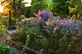 THE PICTON GARDEN  WORCESTERSHIRE: ASTER CORDIFOLIUS CHIEFTAN AND ASTER CORDIFOLIUS ELEGANS IN BORDER AT SUNSET