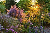 THE PICTON GARDEN  WORCESTERSHIRE: ASTER CORDIFOLIUS CHIEFTAN AND LARIX KAEMPFERI DIANA IN BORDER AT SUNSET