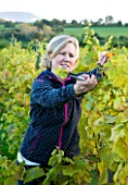 SUNNYBANK VINE NURSERY  HEREFORDSHIRE: OWNER SARAH BELL COLLECTING GRAPES FROM THE VINEYARD