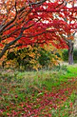 HEVER CASTLE  KENT: AUTUMN: AUTUMN COLOUR OF RED MAPLE ON SIXTEEN ACRE ISLAND