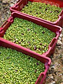 OLIVE PICKING NEAR EYGALIERES  IN THE ALPILLES  PROVENCE  FRANCE: