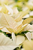 SUMMERFIELD NURSERIES  KENT: POINSETTIA PREMIUM WHITE - EUPHORBIA PULCHERRIMA  CHRISTMAS