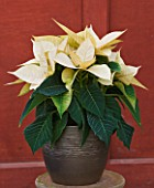 SUMMERFIELD NURSERIES  KENT: POINSETTIA PREMIUM WHITE IN CONTAINER - EUPHORBIA PULCHERRIMA  CHRISTMAS