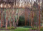 STONE LANE GARDEN  DEVON: WINTER - EARLY MORNING LIGHT ON BETULA ERMANII (LEFT) AND BETULA ALBOSINENSIS VAR SEPTENTRIONALIS