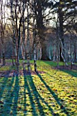 STONE LANE GARDEN  DEVON: WINTER - EARLY MORNING LOW ANGLE SUNSHINE THROUGH BIRCH TREES THROWS STRONG SHADOWS ACROSS THE FROSTY GRASS