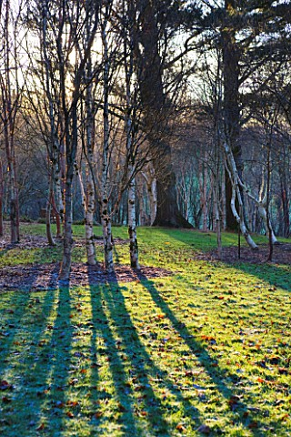 STONE_LANE_GARDEN__DEVON_WINTER__EARLY_MORNING_LOW_ANGLE_SUNSHINE_THROUGH_BIRCH_TREES_THROWS_STRONG_