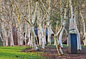 STONE LANE GARDEN  DEVON: WINTER - EARLY MORNING LIGHT ON SCULPTURE TALON BY BRUCE KIRBY WITH WHITE TRUNKS OF BETULA UTILIS SSP  OCCIDENTALIS
