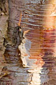 STONE LANE GARDEN  DEVON: WINTER - BARK OF  BETULA ALBOSINENSIS VAR SEPTENTRIONALIS