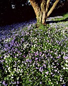 ANEMONE BLANDA AND SCILLA SIBERICA IN THE WOODLAND AT ABBOTSWOOD  GLOUCESTERSHIRE