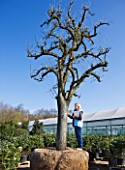 CROCUS NURSERY  SURREY: RACHEL GARROD  ARNE MAYNARDS ASSISTANT - STANDS BESIDE AN ANCIENT PEAR TREE FOR ARNE MAYNARD CHELSEA 2012 GARDEN