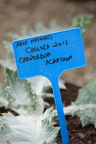 CROCUS_NURSERY__SURREY_CLOSE_UP_OF_LABEL_OF_ONOPORDUM_ACANTHIUM__SCOTCH_THISTLE