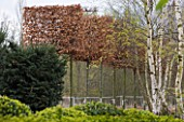 CROCUS NURSERY  SURREY: PLEACHED COPPER BEECH TREES FOR ARNE MAYNARD CHELSEA 2012 GARDEN