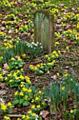 LITTLE PONTON HALL  LINCOLNSHIRE: SHEETS OF ACONITES GROWING IN WOODLAND BESIDE THE DOG GRAVES