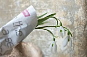 COTSWOLD FARM  GLOUCESTERSHIRE: SNOWDROPS - GALANTHUS - WRAPPED IN NEWSPAPER READY FOR SALE
