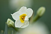 SCENTED NARCISSI (DAFFODILS) FROM SCILLY ISLANDS: NARCISSUS AVALANCHE