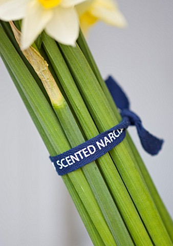 SCENTED_NARCISSI_DAFFODILS_FROM_SCILLY_ISLANDS__BOW_TIED_AROUND_NARCISSI_STEMS