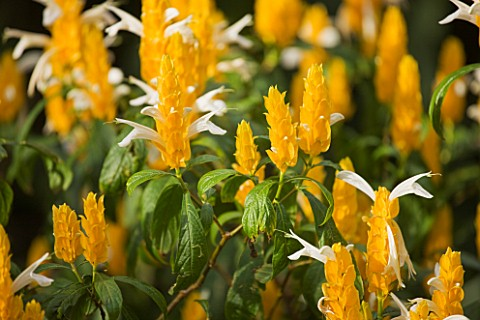 THE_JARDIN_DE_ACLIMATACION_DE_LA_OROTAVA__TENERIFE__CANARY_ISLANDS_YELLOW_FLOWERS_OF_PACHYSTACHYS_LU